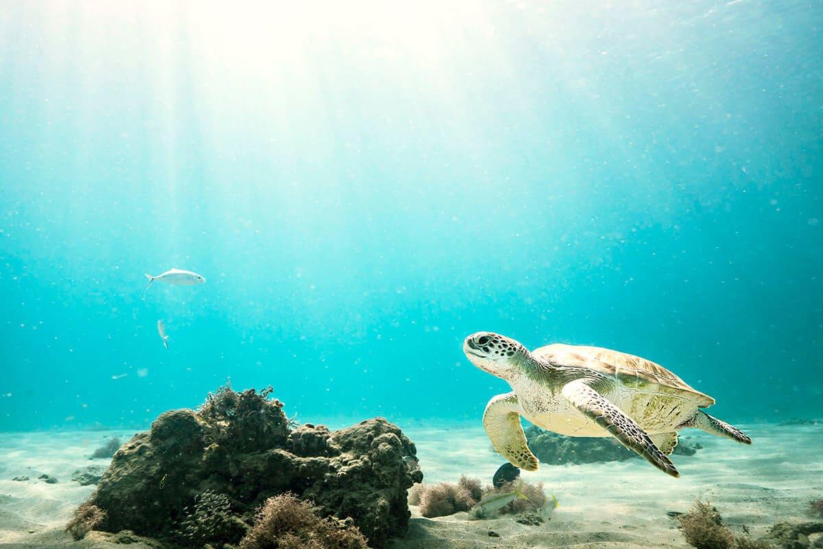 Wasserschildkröte in Kuba