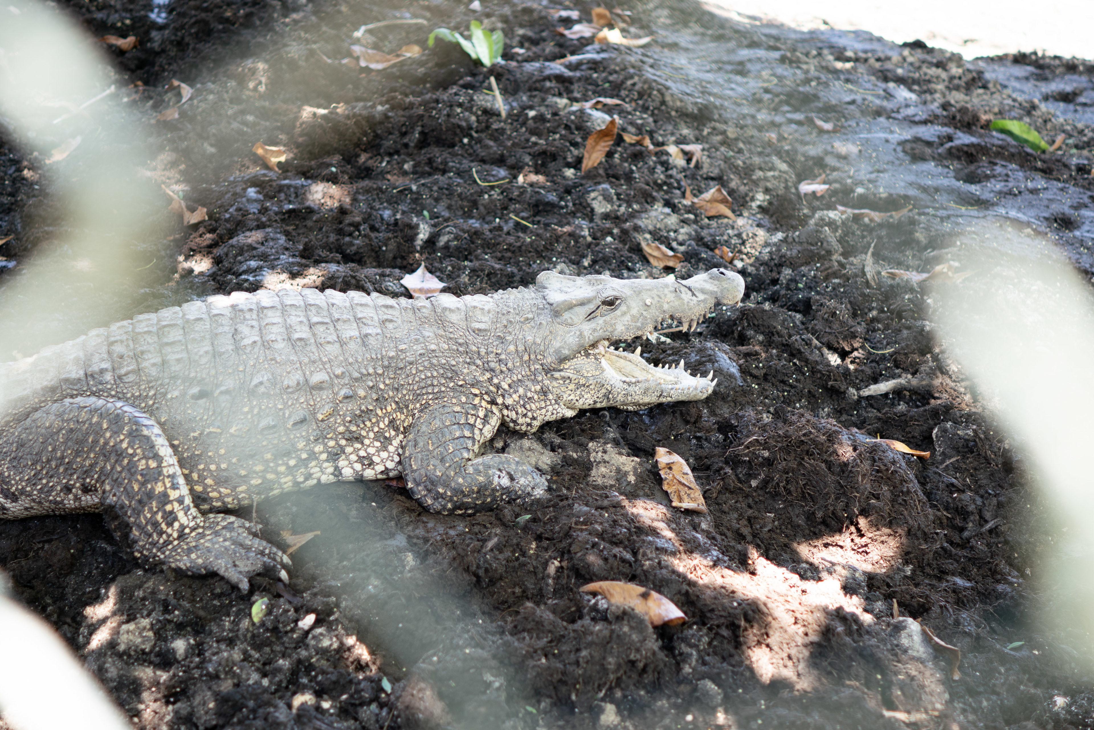 Das kubanische Krokodil - eine endemische Art der Insel