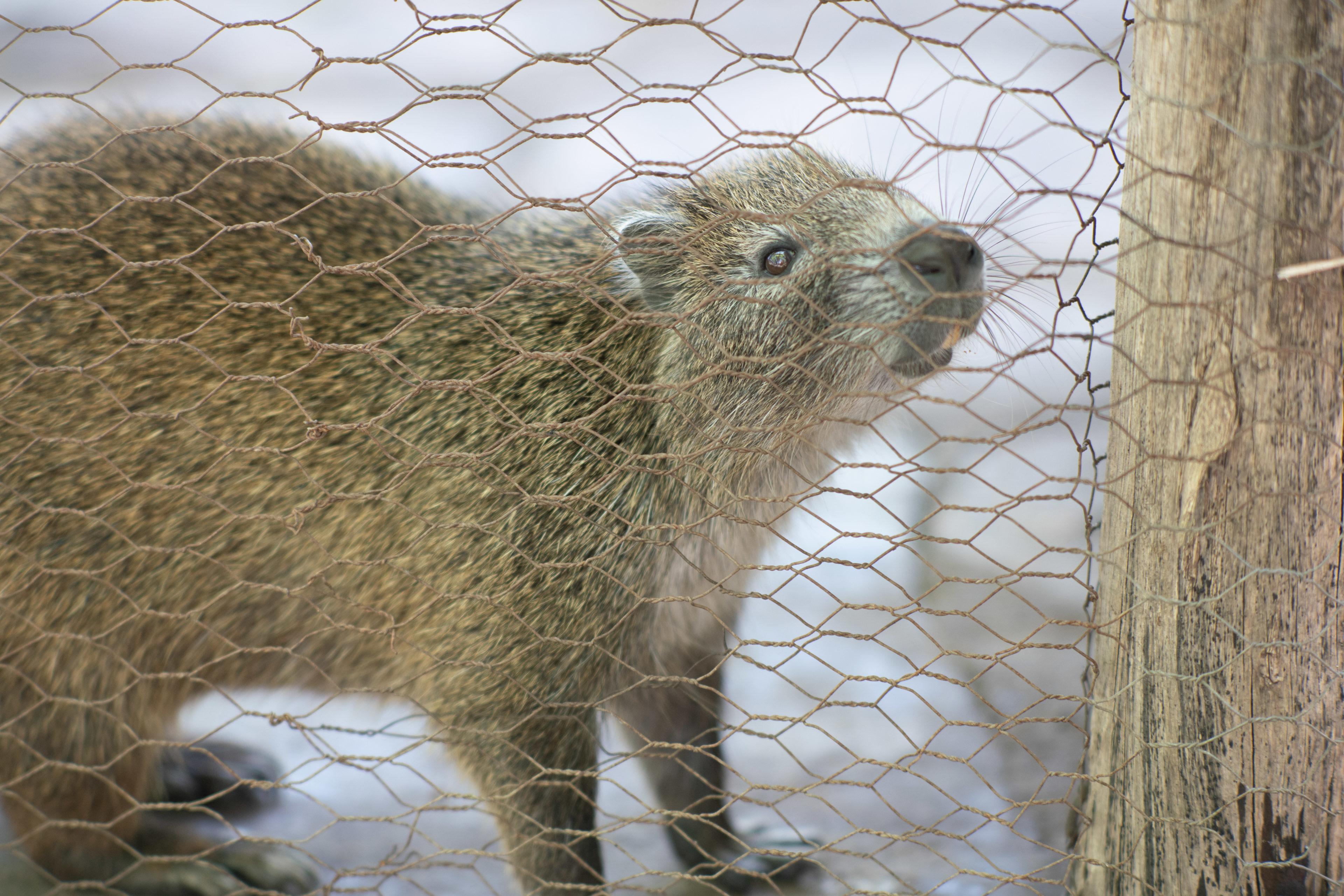 Ein Nagetier späht durch einen Zaun im Tierheim in Kuba